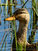 Mottled Duck, Green Cay FL (2)