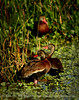 Black-bellied whistling ducks, Wacky, FL (10)