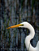 Great Egret, Greey Can FL (1)