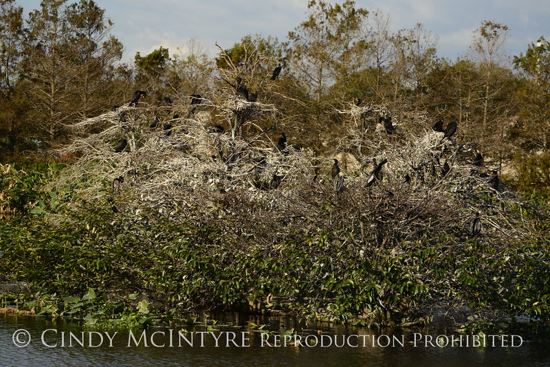 Guano filled rookery, Wacky FL