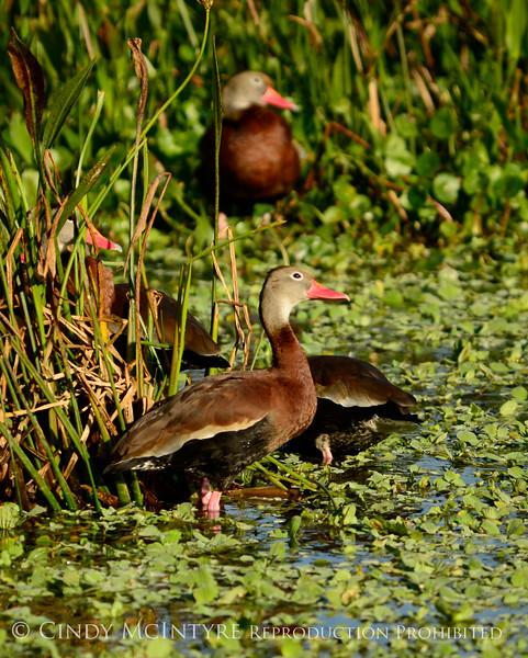 Black-bellied whistling ducks, Wacky, FL (13)