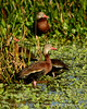 Black-bellied whistling ducks, Wacky, FL (13)