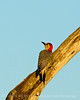Red-bellied woodpecker, Green Cay FL (3)