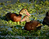 Black-bellied whistling ducks, Wacky, FL (1)