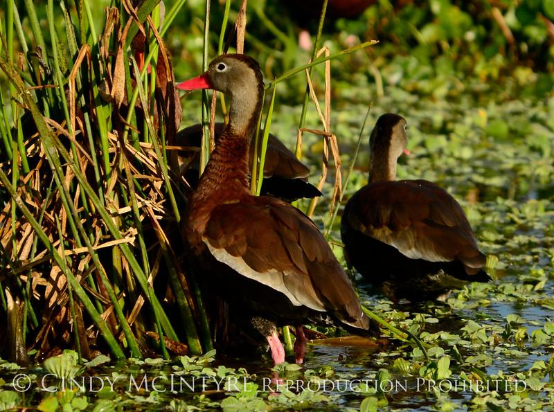 Black-bellied whistling ducks, Wacky, FL (5)
