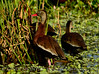 Black-bellied whistling ducks, Wacky, FL (5)