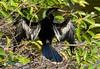 Anhinga male, Wacky FL (2)