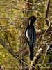 Anhinga male, Green Cay FL (5)