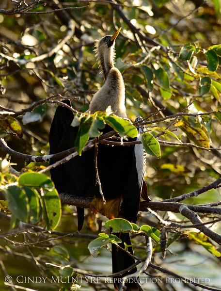 Anhinga Female, Wakodahatchee FL (2)
