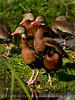 Black bellied whistling ducks 1408