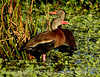 Black-bellied whistling ducks, Wacky, FL (22) copy