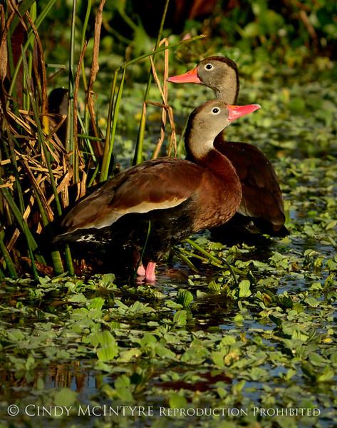 Black-bellied whistling ducks, Wacky, FL (21) copy 2