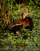 Black-bellied whistling ducks, Wacky, FL (21) copy 2