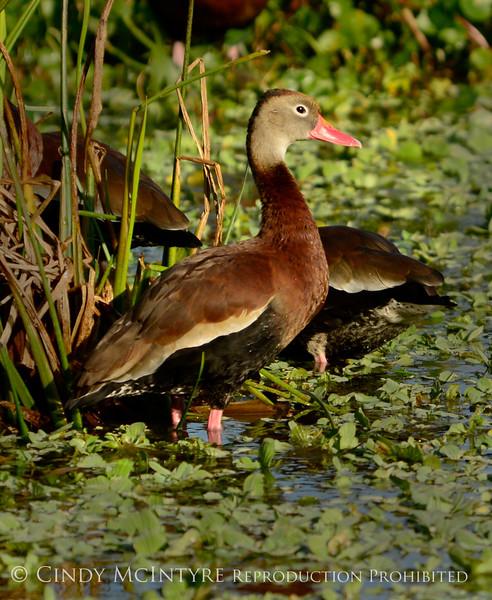 Black-bellied whistling ducks, Wacky, FL (16)