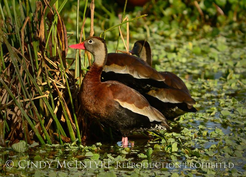 Black-bellied whistling ducks, Wacky, FL (3)