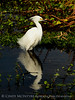Snowy Egret breeding plumage FL (2)