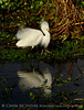 Snowy Egret breeding plumage FL (4)