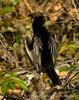 Anhinga male, Wacky FL (1)