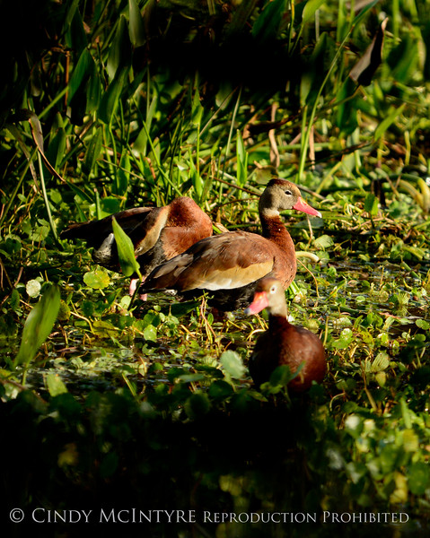 Black-bellied whistling ducks, FL