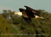 Bald Eagle, Lk Kissimmee FL (6)