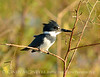 Belted Kingfisher male, Lk Kissimmee FL (2)