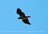 Bald Eagle Juvenile, Lake Kissimmee FL