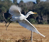 Cattle Egret in Flight copy
