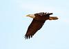 Bald Eagle, Lk Kissimmee FL (7) copy