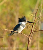 Belted Kingfisher male, Lk Kissimmee FL (3)