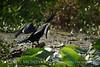 Double crested cormorant, Lk Kissimmee FL (2)