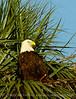 Bald Eagle in palm, Lk Kissimmee FL (5)