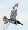 Belted Kingfisher Male in Flight copy