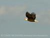 Bald Eagle, Lk Kissimmee FL (2)