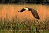 Bald Eagle, Lk Kissimmee FL (4)