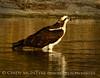 Osprey, Merrit Island NWR FL