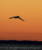 Pelican at sunset, FL (3)