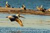 Brown pelicans, Mullethead Island, FL (2)