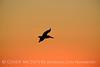 Pelican at sunset, FL (7)