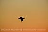 Pelican at sunset, FL (5)