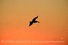 Pelican at sunset, FL (8)