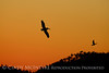 Pelican and cormorant at sunset, FL