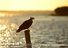 Osprey at sunset, Merritt Island NWR FL (2)