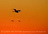 Great egret at sunset, FL (2)