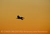Pelican at sunset, FL (4)