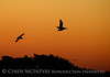 Pelicans at sunset, FL