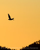 Pelican at sunset, FL (1)