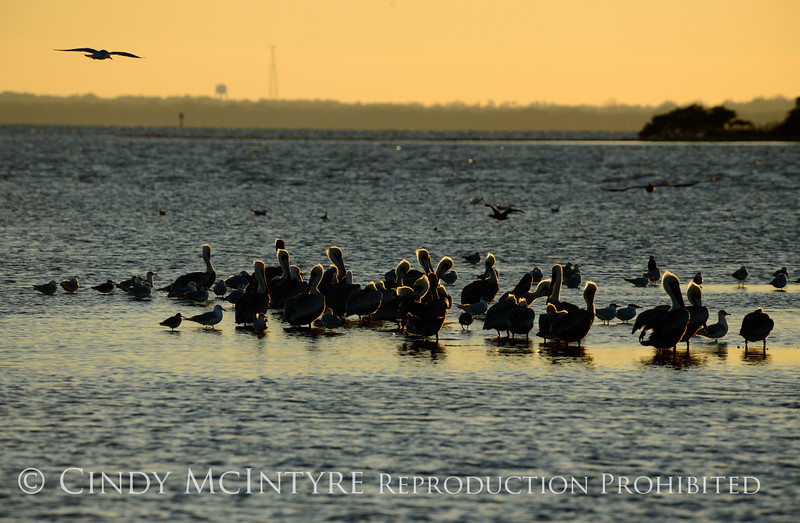 Brown pelicans, Mullethead Island, FL (1)