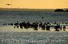 Brown pelicans, Mullethead Island, FL (1)