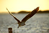 Osprey at sunset, Merritt Island NWR FL (4)