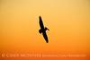 Pelican at sunset, FL (10)